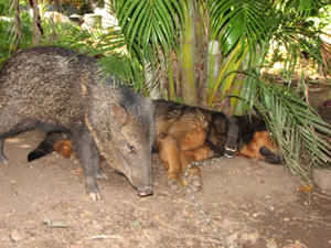 Gallo the friendly peccary