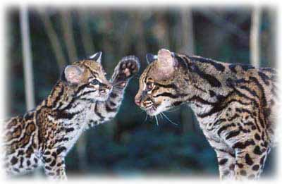 Ocelot Kitten playing with his mother